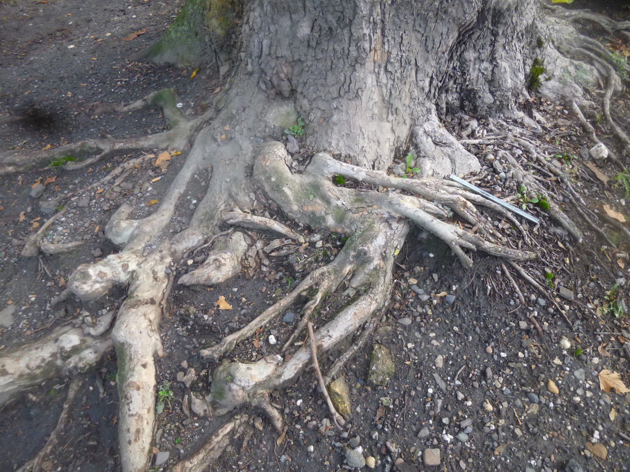 Baum - Wurzelwerk